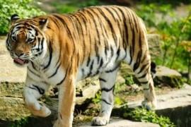 世界上最大的老虎东北虎 体重达350千克秒杀非洲狮