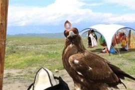 最残酷的驯鹰方式 熬鹰不让鹰睡觉直到完全被驯服